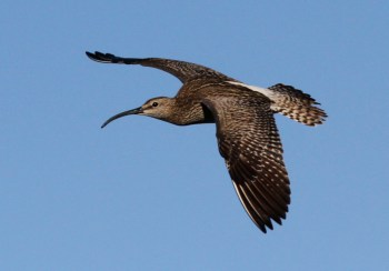 Whimbrel in flight on Hrisey Island