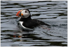 Puffin Swimming at Papey Island
