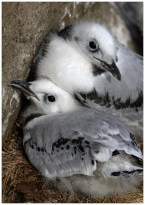 Kittiwake Chicks at Papey Island