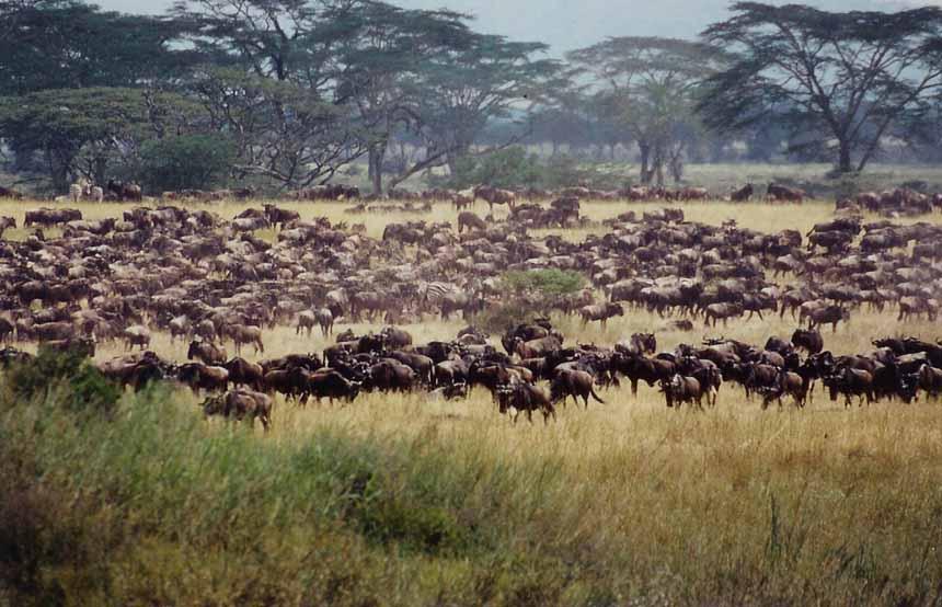 Herd, Tribe