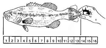 howtomeasurefish 350x159.jpg