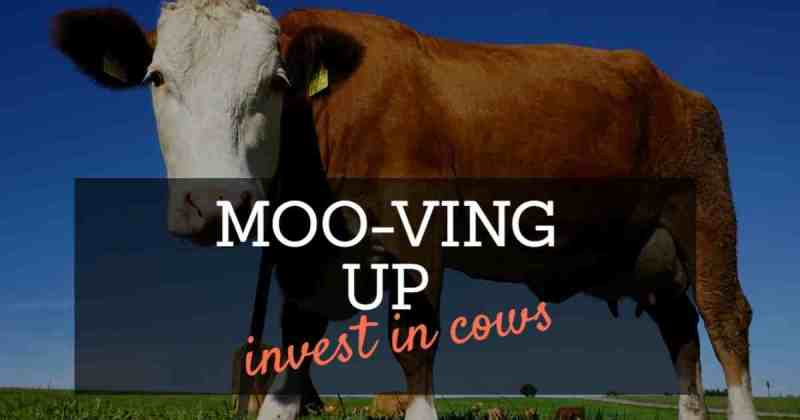 Investing in cows