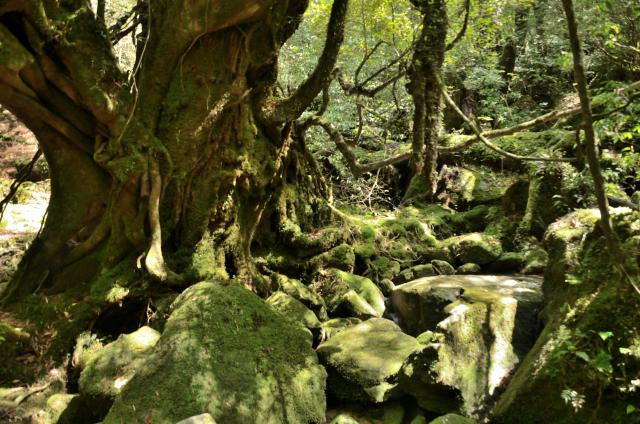屋久島 太鼓岩〜白谷雲水峡 苔むす森