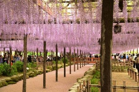 天王川公園 藤の花