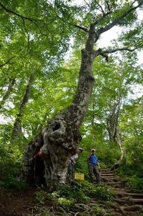 荒島岳 トトロの木