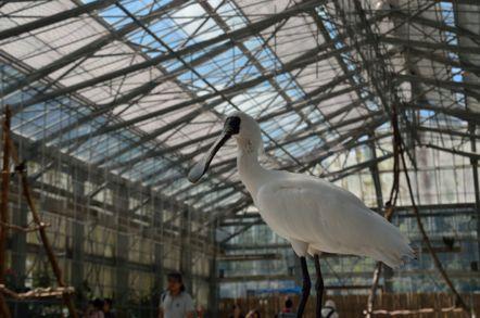 掛川花鳥園 クロツラヘラサギ