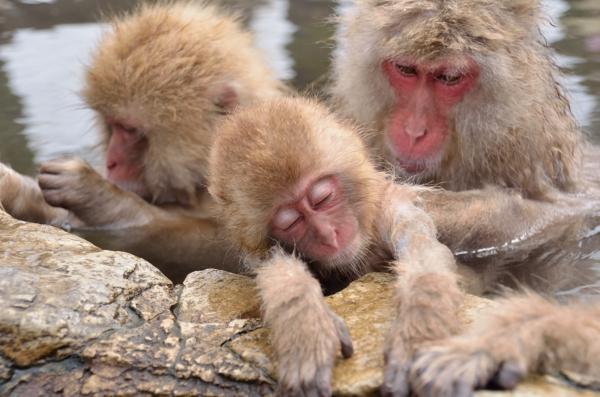 地獄谷野猿公苑 露天風呂 サル