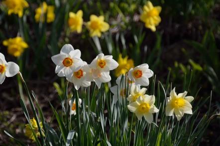 ポレポレの丘 水仙の花