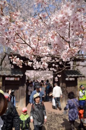 高遠城址公園 問屋門 桜