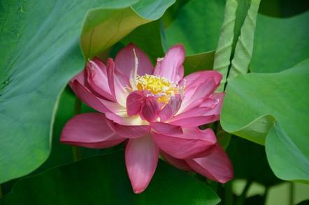 三室戸寺 蓮の花