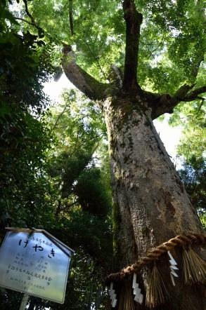 宇治上神社 ケヤキの木