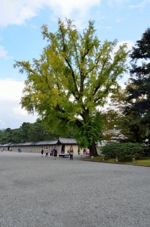京都御所 大銀杏