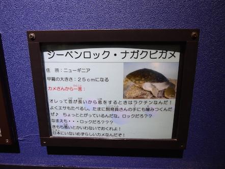 竹島水族館 ジーベンロック・ナガクビガメ