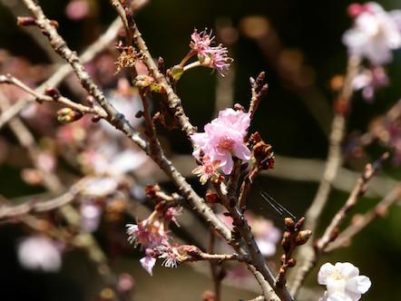 藤原岳 有料駐車場 梅の花