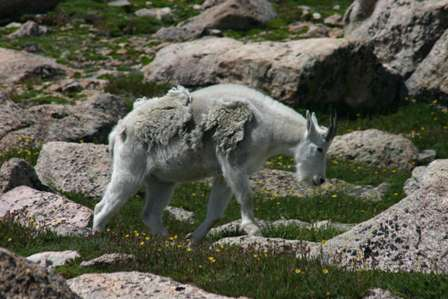 Mountain Goats Atop Mt. Evans, Colorado