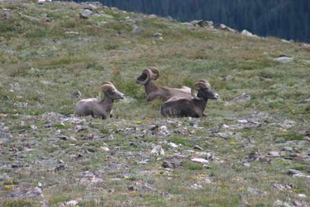 Bighorn Sheep, Rocky Mountain National Park (RMNP)