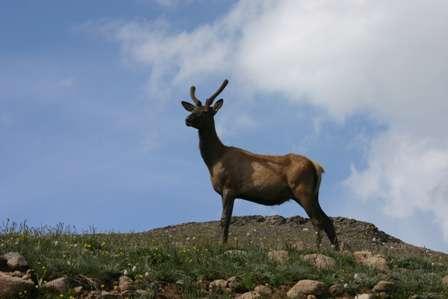 Elk, Rocky Mountain National Park (RMNP)