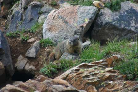 marmots, san juan mountains, colorado