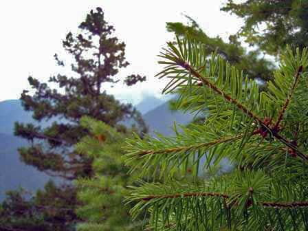 Pine Trees on Hurricane Hill