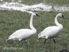 trump-swan-2