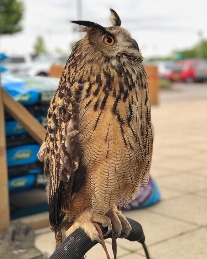 Rescue owls at Dobbies in Southport