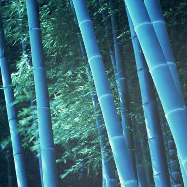 pcs rare blue bamboo seeds