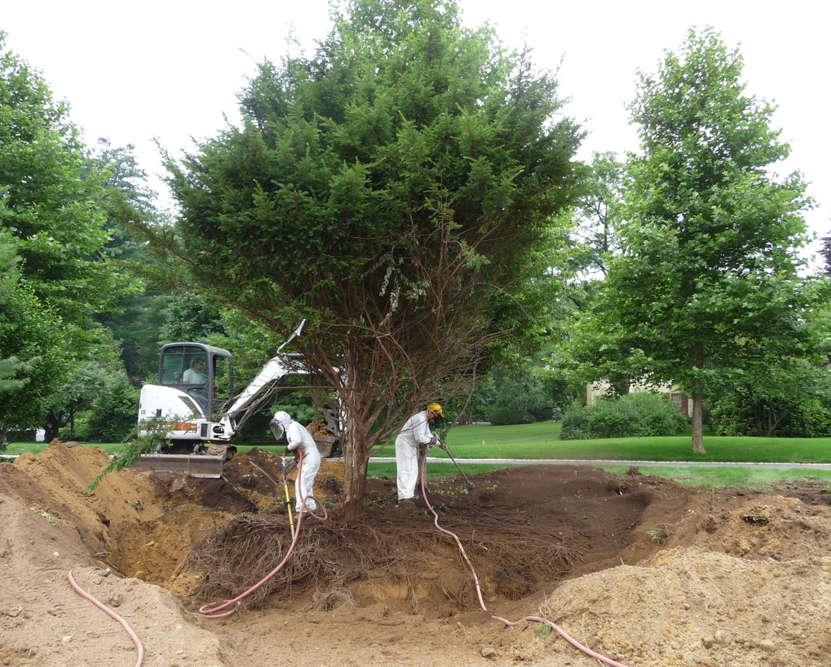 The Bobcat has dug a trench, and the Foti crew is blowing soil into it. Note that the Yew's branches have been tied up to keep them out of the way.