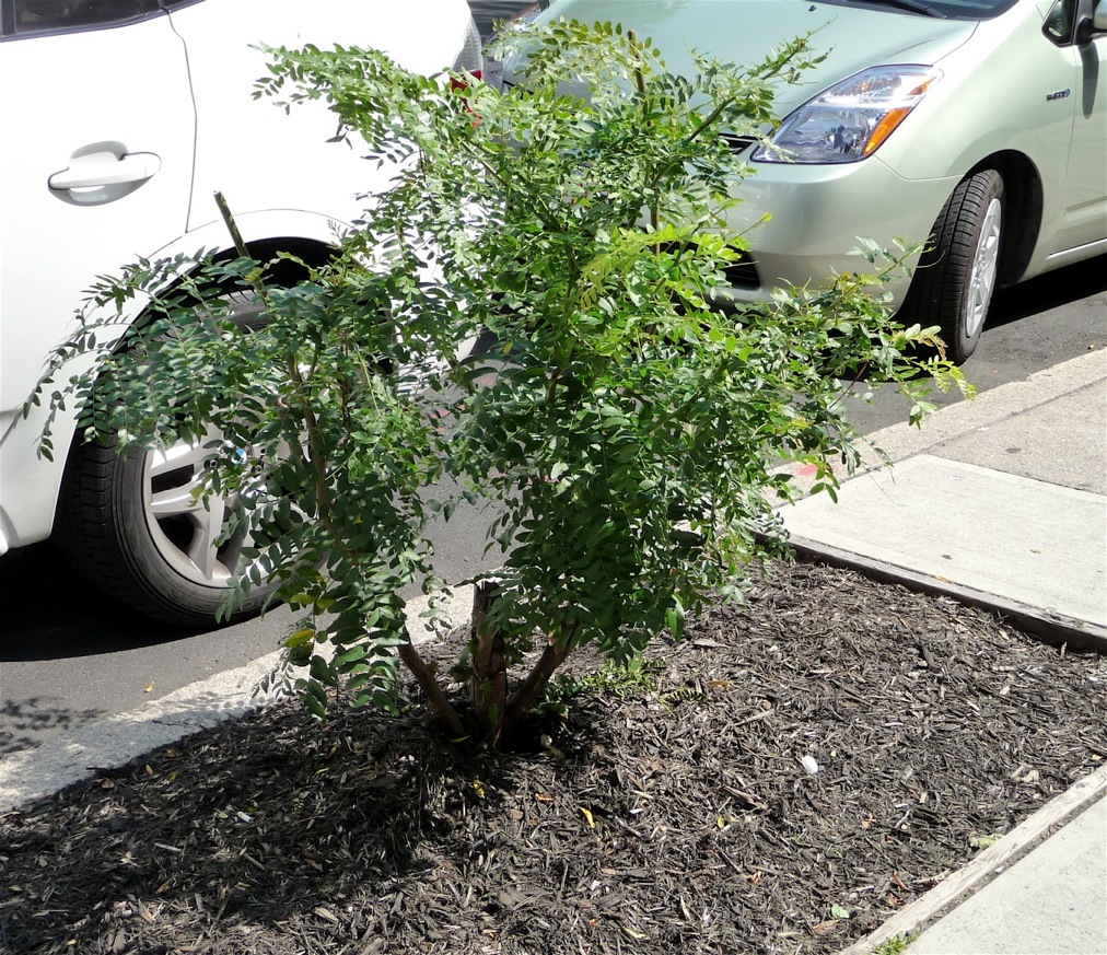 What had been a typical street tree -- a standard-form Honey Locust -- was cut down at some point, and now sports shrub-like topgrowth.
