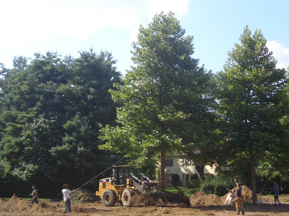 Bare-rooting allows for the moving of a tree this large in less than one day...