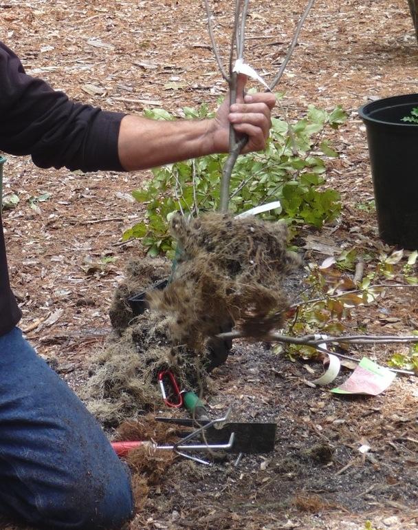 Ilex verticillata root mass, now ready for planting.