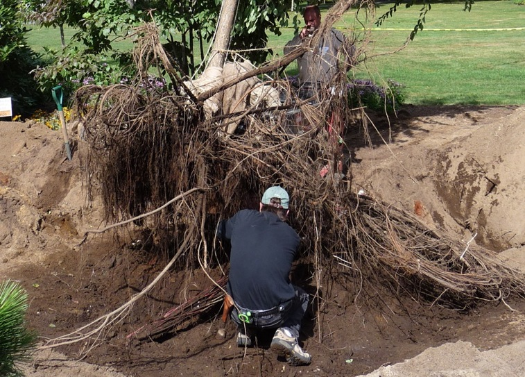 Cutting the last few anchored roots, and any roots broken in the process.  Loppers work best; be sure they are sharp enough to make clean cuts (a set of root-pruning tools is useful, as cutting dirty roots with top-growth tools will ruin their blades quickly).