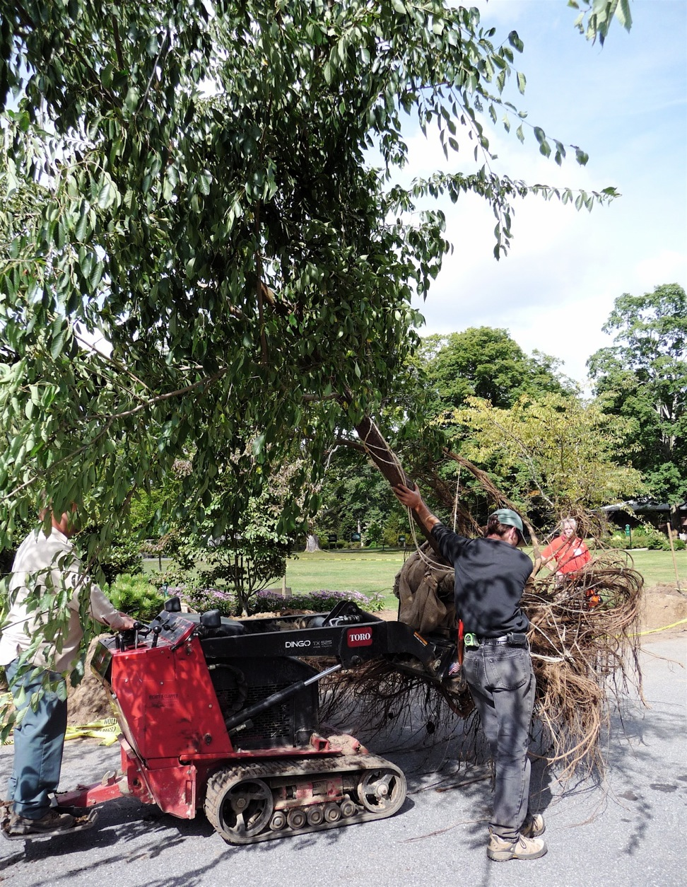 Elm tree on the move.  Stabilizing the trunk and moving slowly keeps the job safe.