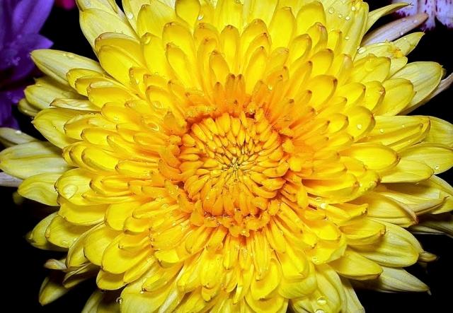La flor de crisantemo  cuento  Takiruna