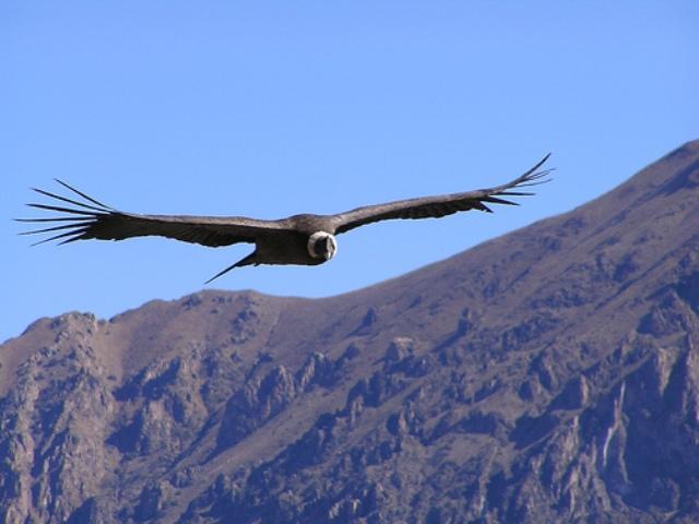condor andino  Takiruna