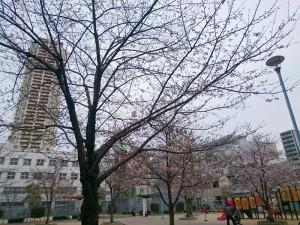 同じ公園でも、ほとんど咲いていない桜の木