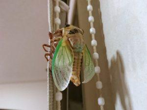 クマゼミの幼虫の脱皮が始まりました!