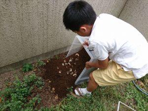 成長したカブトムシの幼虫を取り出します