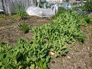 端境期ですが、混栽された野菜がよく育ってます