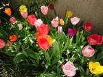 庭のチューリップが、色とりどり、あざやかに満開!!