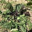ナスの根元に雑草をマルチがわりに敷きます