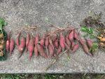 山添村(奈良)で収穫したサツマイモを熟成中です