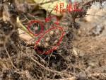 11月の野菜部(おまけ)~これが、大豆の根粒細菌です~