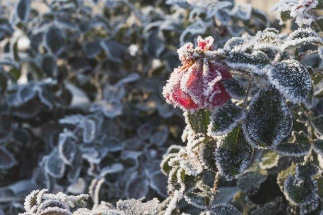 обрезка роз осенью подготовка к зиме