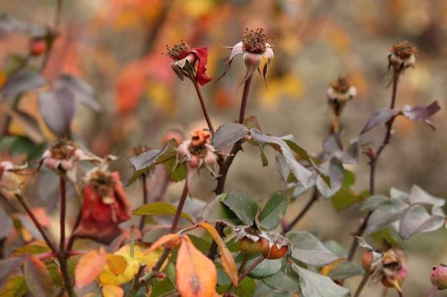 обрезка роз осенью и укрытие