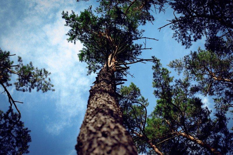 сосна дерево