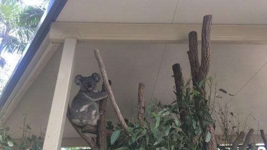 【オーストラリアハーフラウンド 10日目 コアラを抱ける地域と抱けない地域があります。】