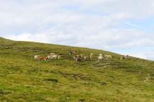 オーストリア 高原の牛たち