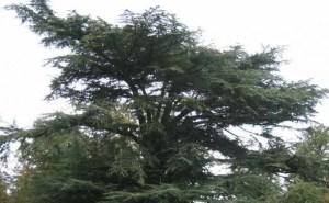 sedir ağacı özellikleri ve çeşitleri