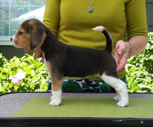 """""""Daphne"""", Talbot Hill Dukeang Primrose Path, has found a wonderful """"forever home"""". Shown here at 6 weeks."""