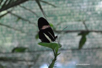 fluturi-tropicali-10
